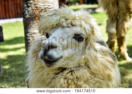 Gorgeous close-up photo of a female alpaca.