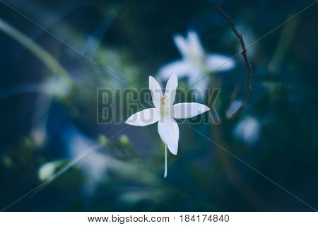 Blurry And Soft Focus Of Cork Tree's White Flower, Indian Cork , Millingtonia Hortensis