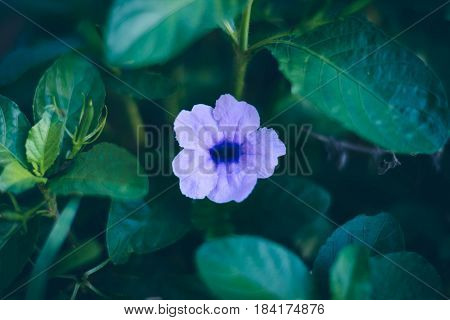 Wild Petunias With Small Green Leaves Outdoor At Bad Weather, With Black Shadow
