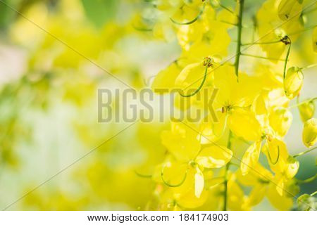 Yellow Flower Of The Coon Treetropical Asia Blossom Tree