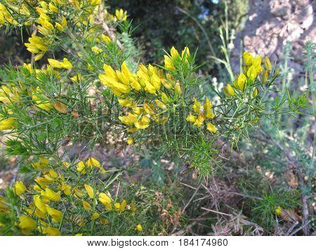 Common gorse in yellow flower, Ulex europaeus