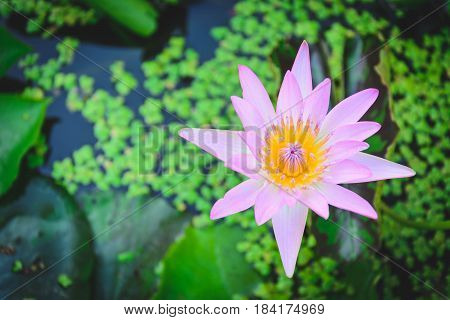 lotus flower in water tank with blurry leaves background
