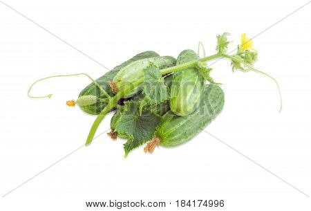 Several fresh cucumbers and creeping stem of cucumber with the leaves tendrils and flower on a light background
