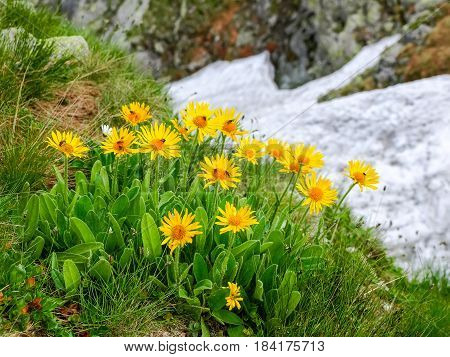 Group flowers of the Arnica montana on a blurry background of rocks and snowfield in the Tatra Mountains