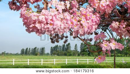 Pink flowers Tabebuia rosea blossom or Chompoopantip flowers Pink flower Tabebuya flower on green field and blue sky background.