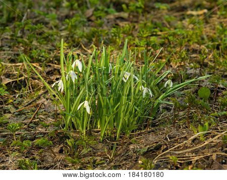 Blooming snowdrops Galanthus nivalis grows in dry grass early spring closeup selective focus shallow DOF.