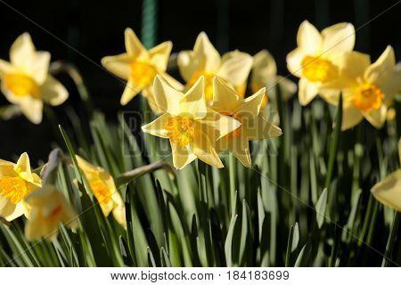 daffodils shallow depth of field springtime .