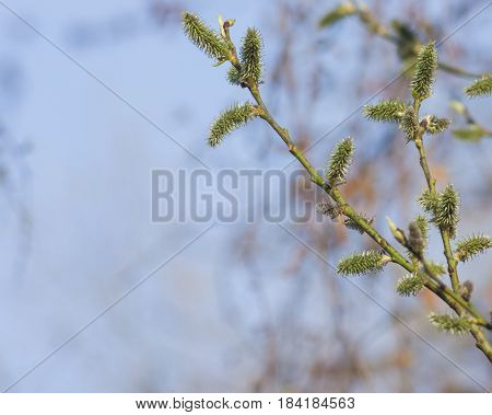 Blossoming branch of willow with catkins on bokeh background selective focus shallow DOF.