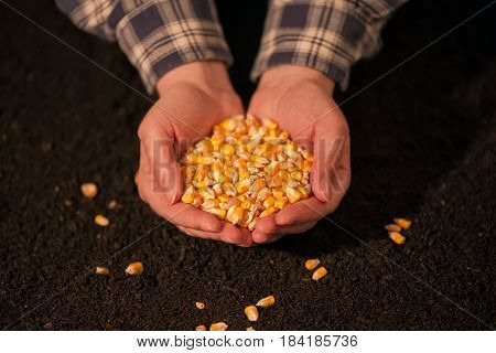 Handful of harvested corn seed caucasian female farmer holding pile of maize grains over soil background