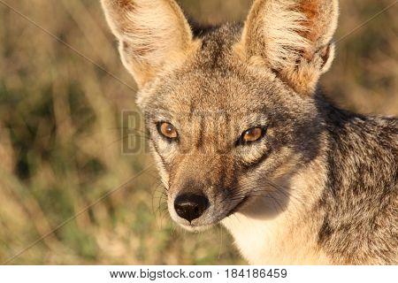 A close-up portrait of a black-backed jackal (Canis mesomelas). Ol Pejeta Conservancy Kenya.