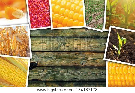 Maize corn in agriculture photo collage with copy space