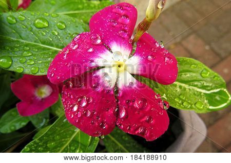 Impatiens Touch-me-not Busy Lizzie close-up macro of pink red flower covered in raindrops