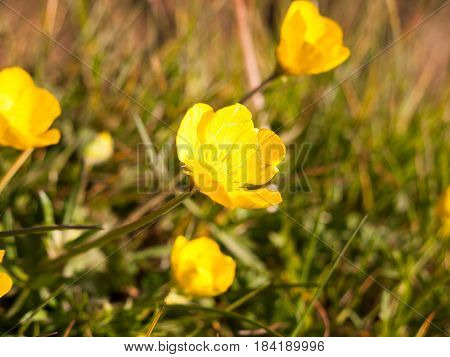 Close Up Macro Of A Buttercup Sprouting Off Its Stem From The Side To The Center Of The Screen