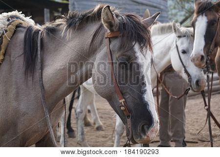 Several horses on a ranch with their reins and saddles on, waiting