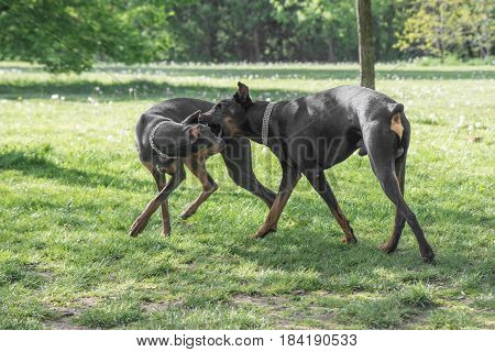 Two Brown Doberman Pinscher playing in the park