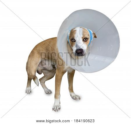 Sick dog with bandages lying and wearing a funnel collar on a white background.