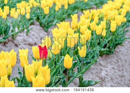 One red tulip stands out above the many yellow blooming tulip flowers in the row of a large field at a specialized Dutch bulb nursery. It's an early morning on a cloudy day at the beginning of the spring season.