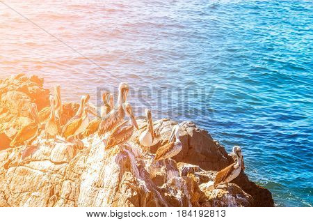 Brown Pelicans Sitting On The Rock With Sea Background