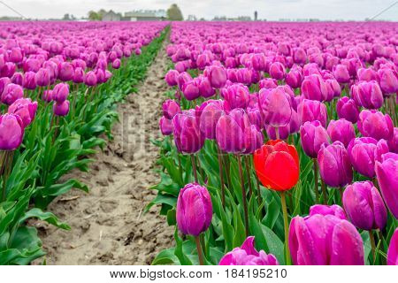 Striking red tulip stands out above the crowd of the common purple tulips in the tulip field of a bulb nursery in the Netherlands.