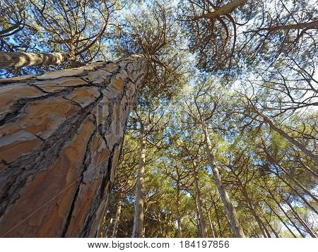 a pine trunk seen from the ground