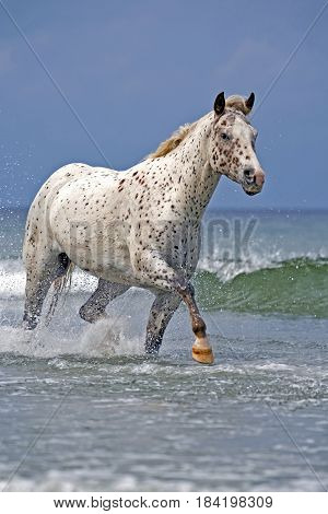 Appaloosa galloping through ocean surf pacific ocean