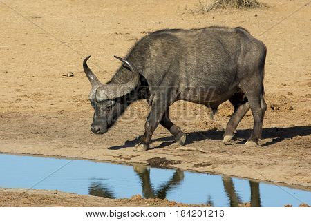 Cape Buffalo bull arriving to quench it's thirst at a waterhole in Africa