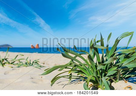 green plants in Cea beach in Sardinia