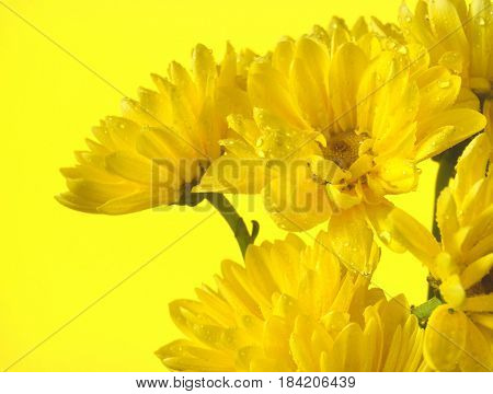 A small bunch of yellow daisies on a yellow colored background. There is copy space on the left side.