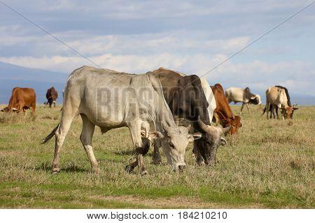A herd of Boran cattle grazes on green savannah. Ol Pejeta Conservancy Kenya.