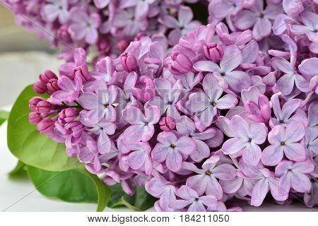 Lilac flowers (Syringa vulgaris) closeup of blooming lilacs