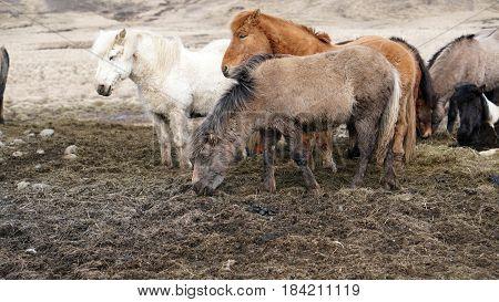 Herd Of Icelandic Horses In Winter Ourdoor Meadow