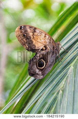 Mariposa de la especie Caligo Memnon, posada sobre una gran hoja.