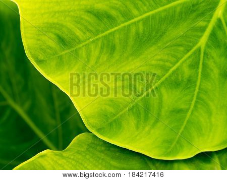 Texture of fresh green leaf background in nature.
