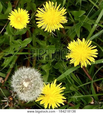 Clump of dandelions with single puff about to release seeds
