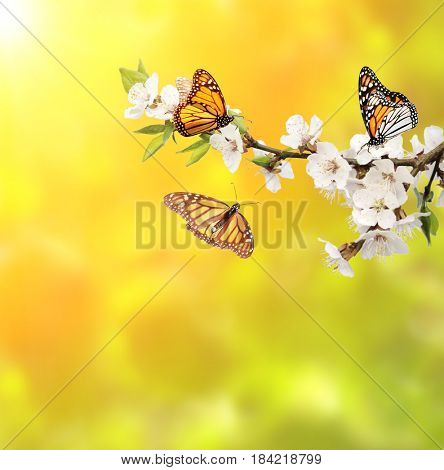 Flowers of cherry and monarch butterflies (Danaus plexippus, Nymphalidae). On sunny background