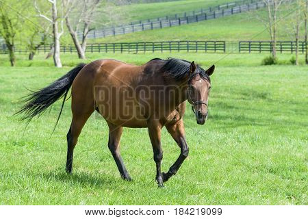 Thoroughbred horse mare in a field of bluegrass. Kentucky horse country