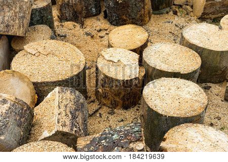 Wooden logs of oak tree and sawdust near sawmill