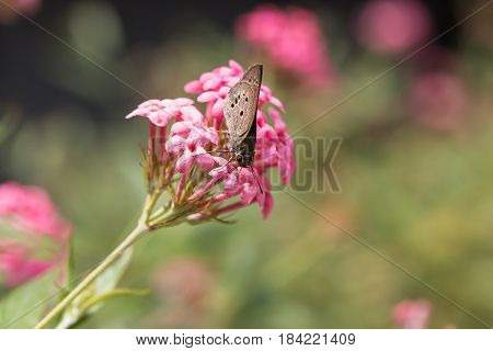 pink panama rose flower in nature garden with butterfly