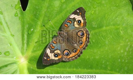 Brilliant Common Buckeye butterfly on a wet leaf.