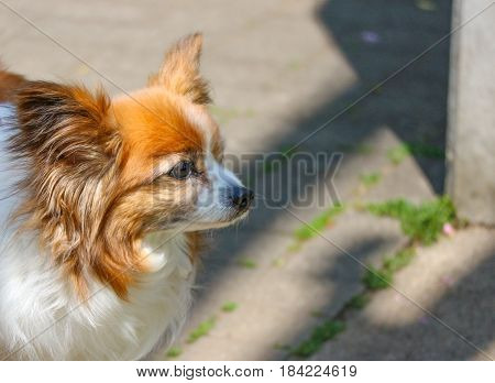 a chihuahua dog looking for something on sunny day