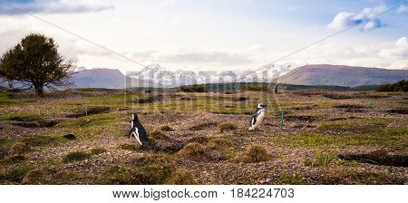 Colony of penguins Tierra del Fuego Argentina