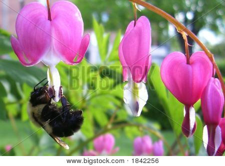 Bleeding Heart Bee