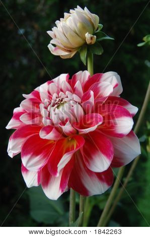 Red White Dahlia And Bulb