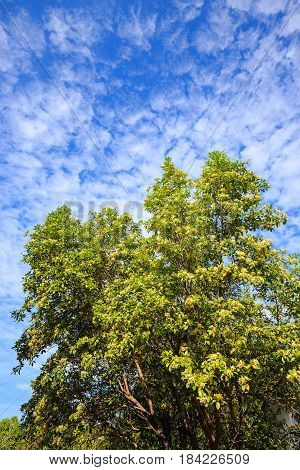 Tembusu flowers bloomig on tree against blue sky. Fagraea fragrans