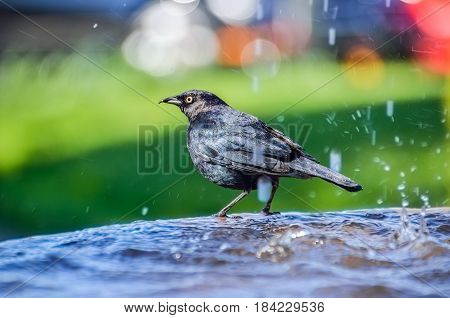 Brewer's blackbird bathing in and drinking from the water fountain in Napa Valley California