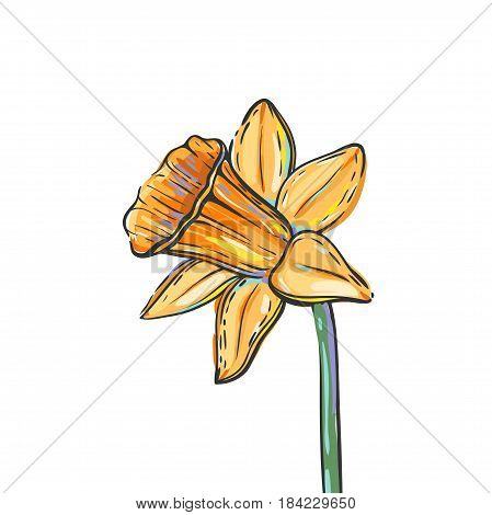 Vector illustration with daffodil isolated on white. Free hand vector colorful sketch of daffodil flower.