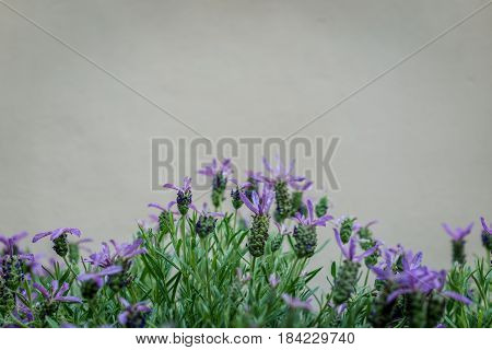 Beautiful blooming lavenders flower (Lavandula stoechas) with stone wall copy space.