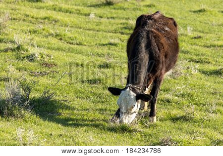 Cows graze on pasture on nature in spring
