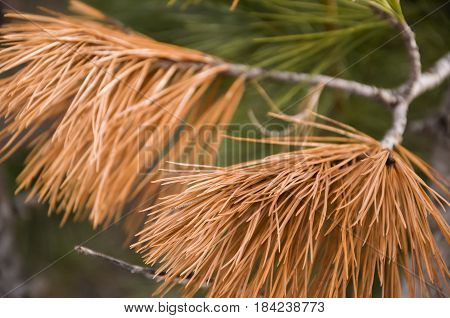 Branch of pine-tree with fir-needles brown color. Early spring