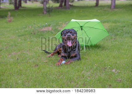 Rottweiler dog lying on the green grass outdoor.Selective focus on the dog